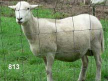 Canoe Lake Farm Katahdin Sheep