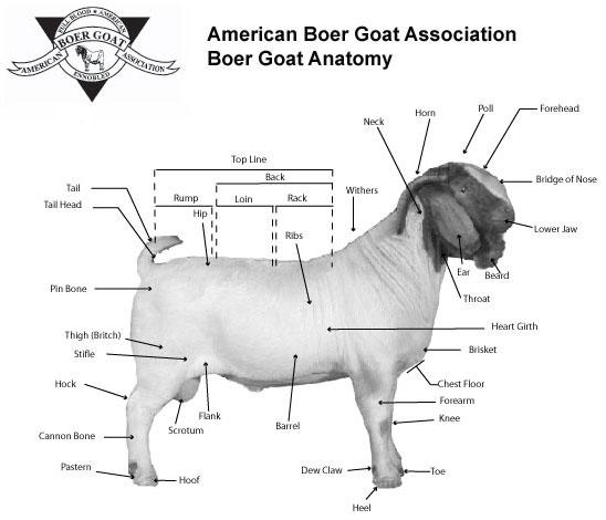 Meat Goat Anatomy Diagram Diy Enthusiasts Wiring Diagrams
